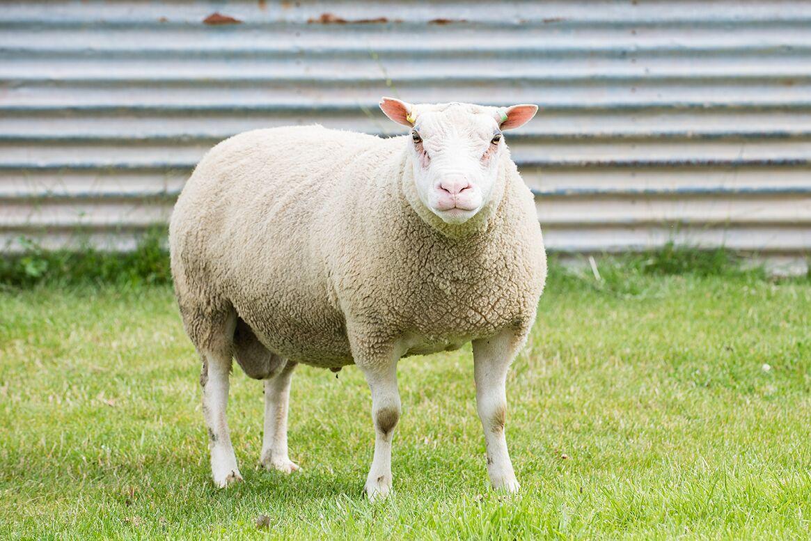 Charmoise Sheep Lloyd Charmoise